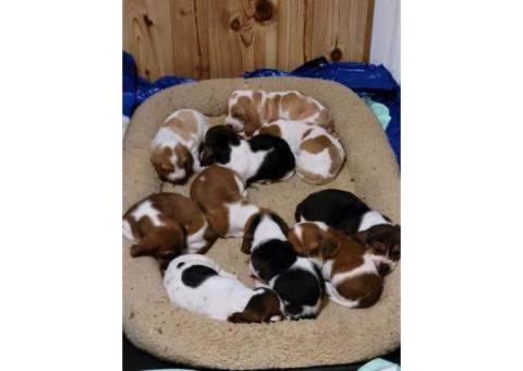 Bassett hound puppies